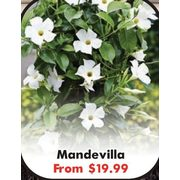 Mandevilla  - From $19.99